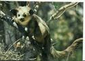 Repas des Maki vari noir et blanc Lemuri15