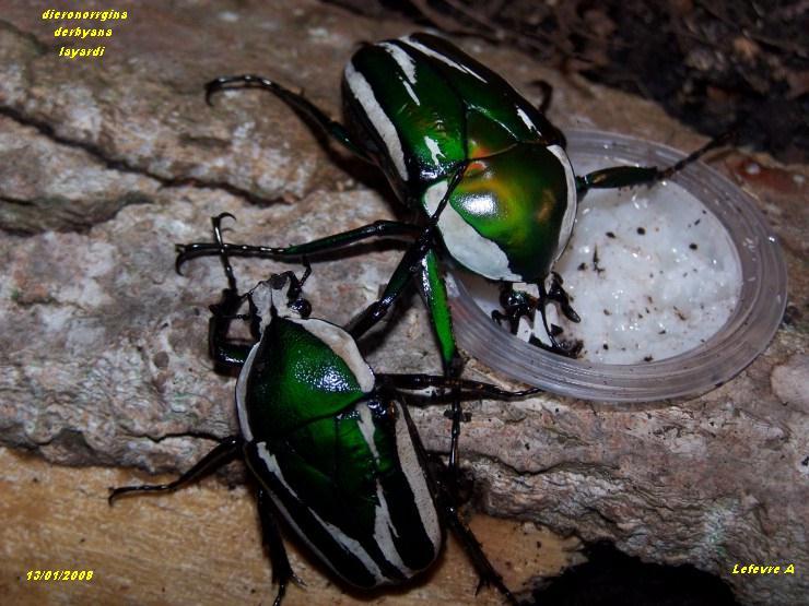 Dicronorrhina derbyana layardi Ddl10