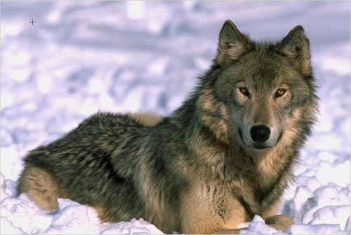 Slike zivotinja Wolf-c10