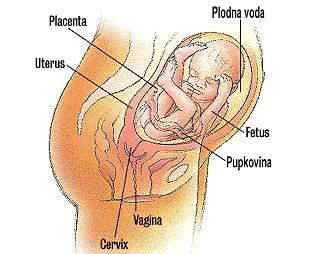 bebe - Razvoj bebe od I do XL nedelje trudnoće 2610