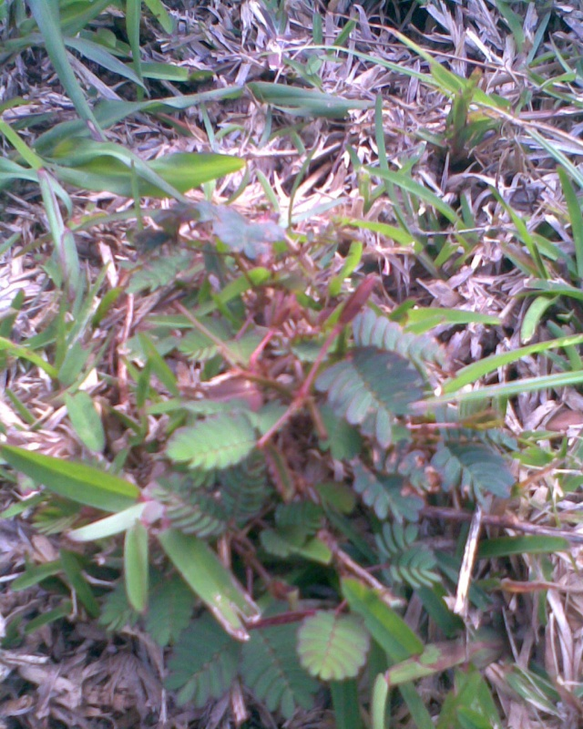 Comment tailler mimosa pudica Mim1010