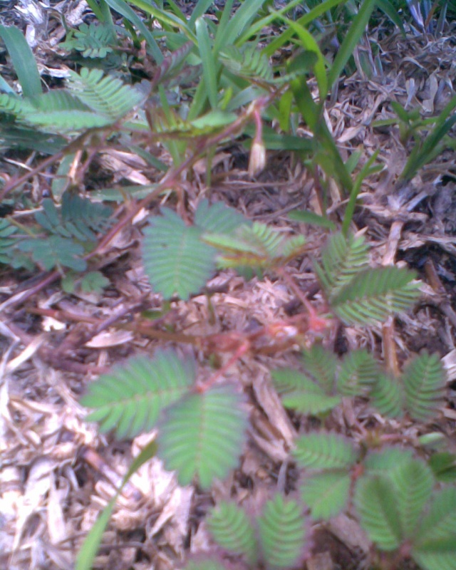Comment tailler mimosa pudica Mim810