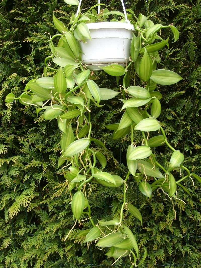 Vanilla planifolia Sl273415