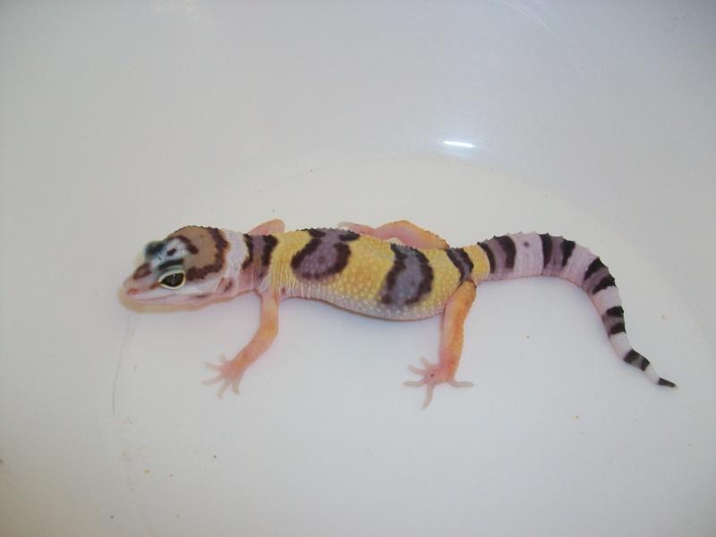 Meos Reptiles : geckos léopards phasés Ca_2_210