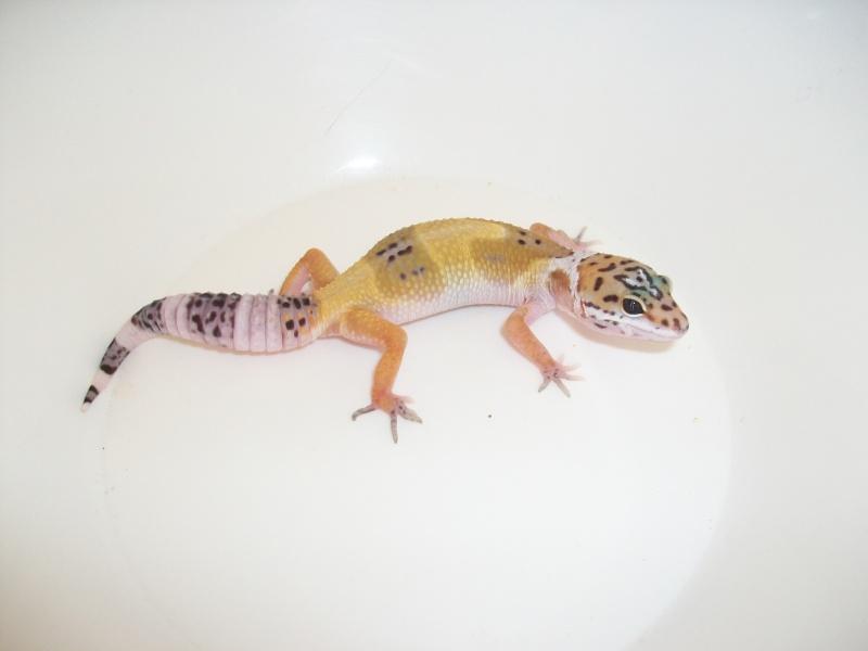 Meos Reptiles : geckos léopards phasés Ca_3_210