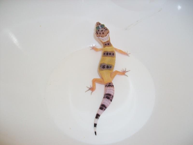 Meos Reptiles : geckos léopards phasés Cga_4_11