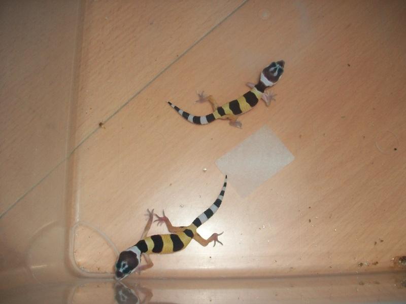 Meos Reptiles : geckos léopards phasés Cga_5_10