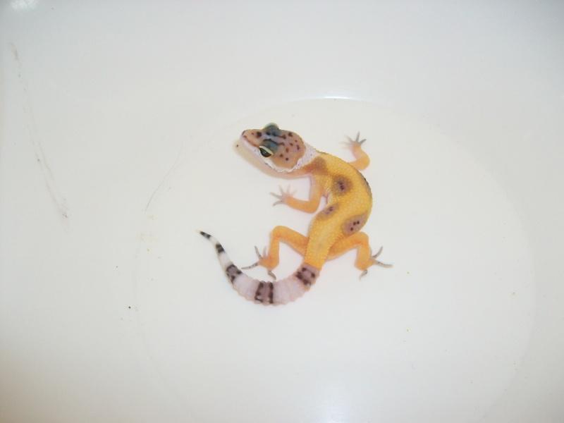Meos Reptiles : geckos léopards phasés Cge_1_12