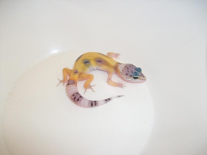 Meos Reptiles : geckos léopards phasés Cge_2_12
