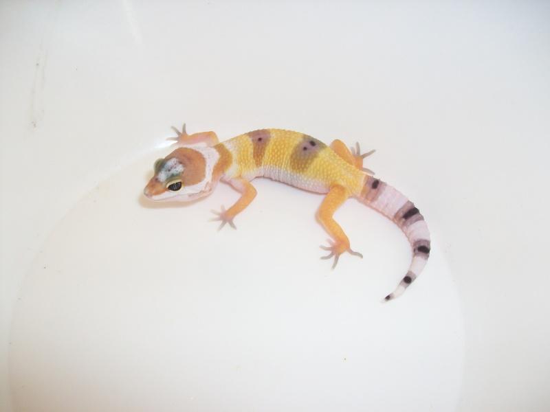 Meos Reptiles : geckos léopards phasés Cge_3_11