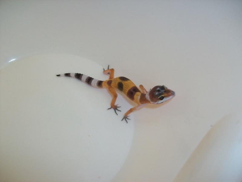 Meos Reptiles : geckos léopards phasés Cge_4_11