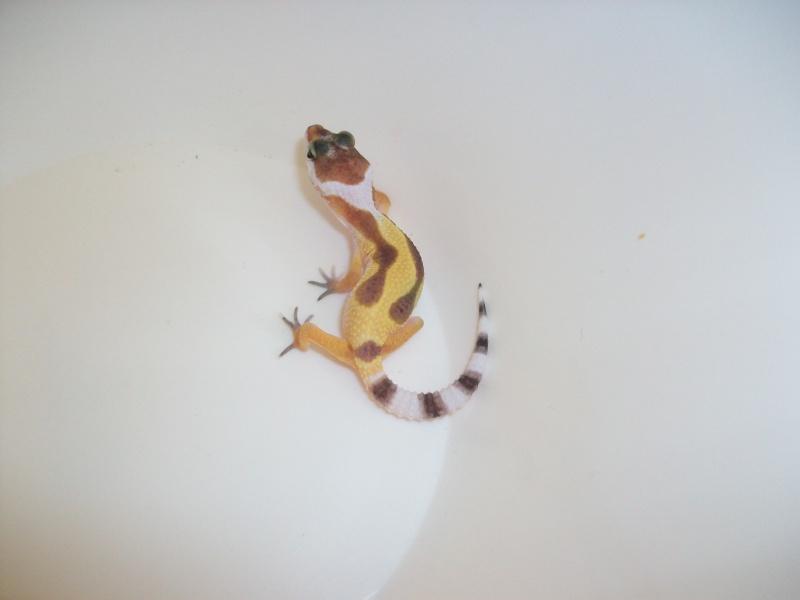 Meos Reptiles : geckos léopards phasés Cge_6_10