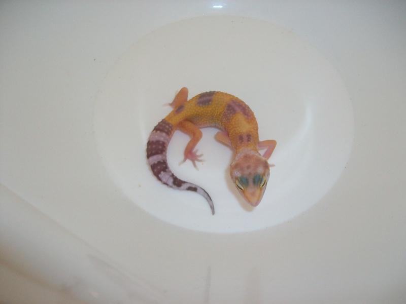 Meos Reptiles : geckos léopards phasés Ss_1_210