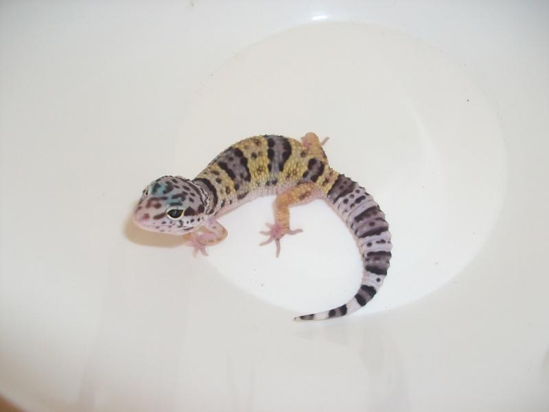 Meos Reptiles : geckos léopards phasés Ta_1_210