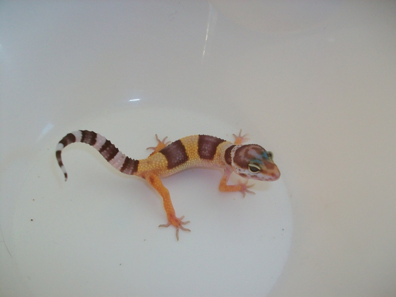 Meos Reptiles : geckos léopards phasés Te_1_210