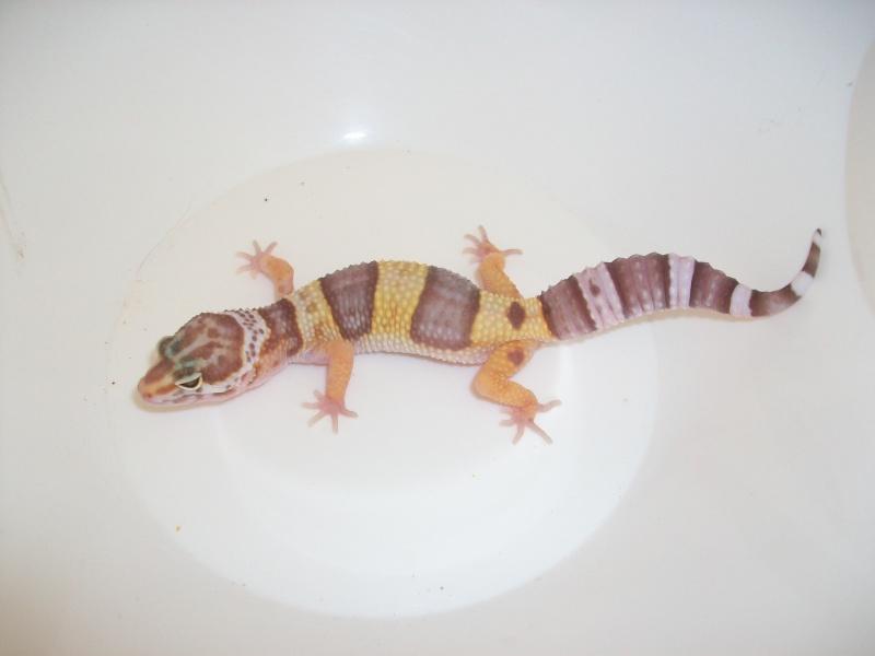 Meos Reptiles : geckos léopards phasés Te_2_210