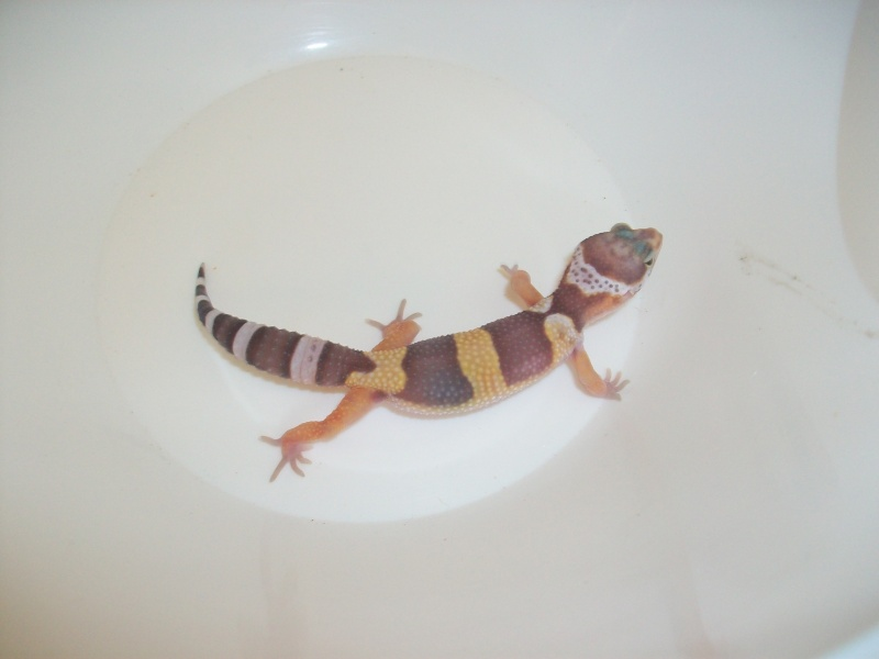 Meos Reptiles : geckos léopards phasés Te_3_210