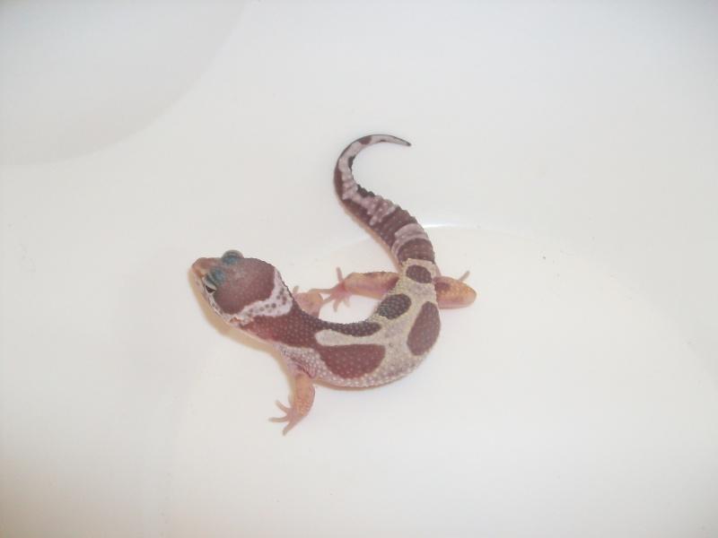Meos Reptiles : geckos léopards phasés Te_4_210