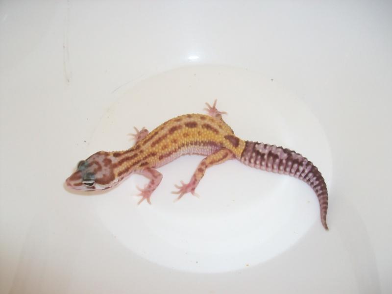 Réussir à enfin trouver sa phase... Gecko leopard F Vc_2_210