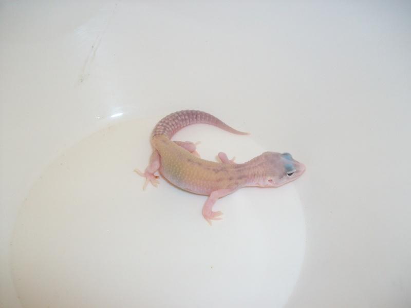 Meos Reptiles : geckos léopards phasés Vc_3_210