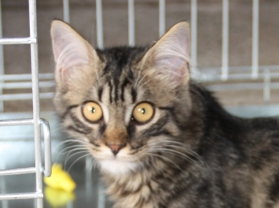 Trouvé chaton tigré près Ecole Alain Savary Copie_10