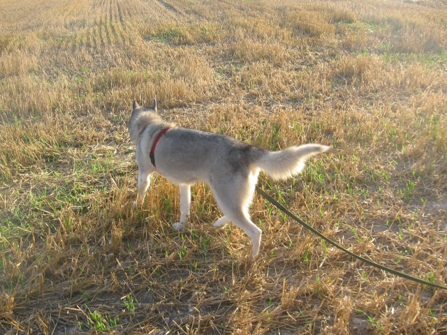 CANDY - femelle husky 12 ans - Asso TAIGA [DECEDEE] - Page 3 Img_0111