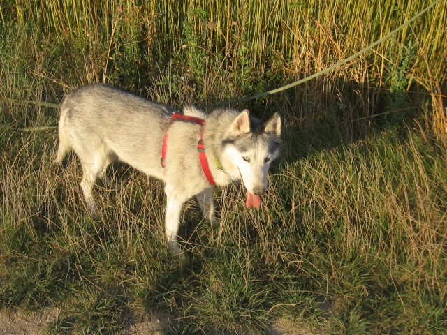 CANDY - femelle husky 12 ans - Asso TAIGA [DECEDEE] - Page 3 Img_0114