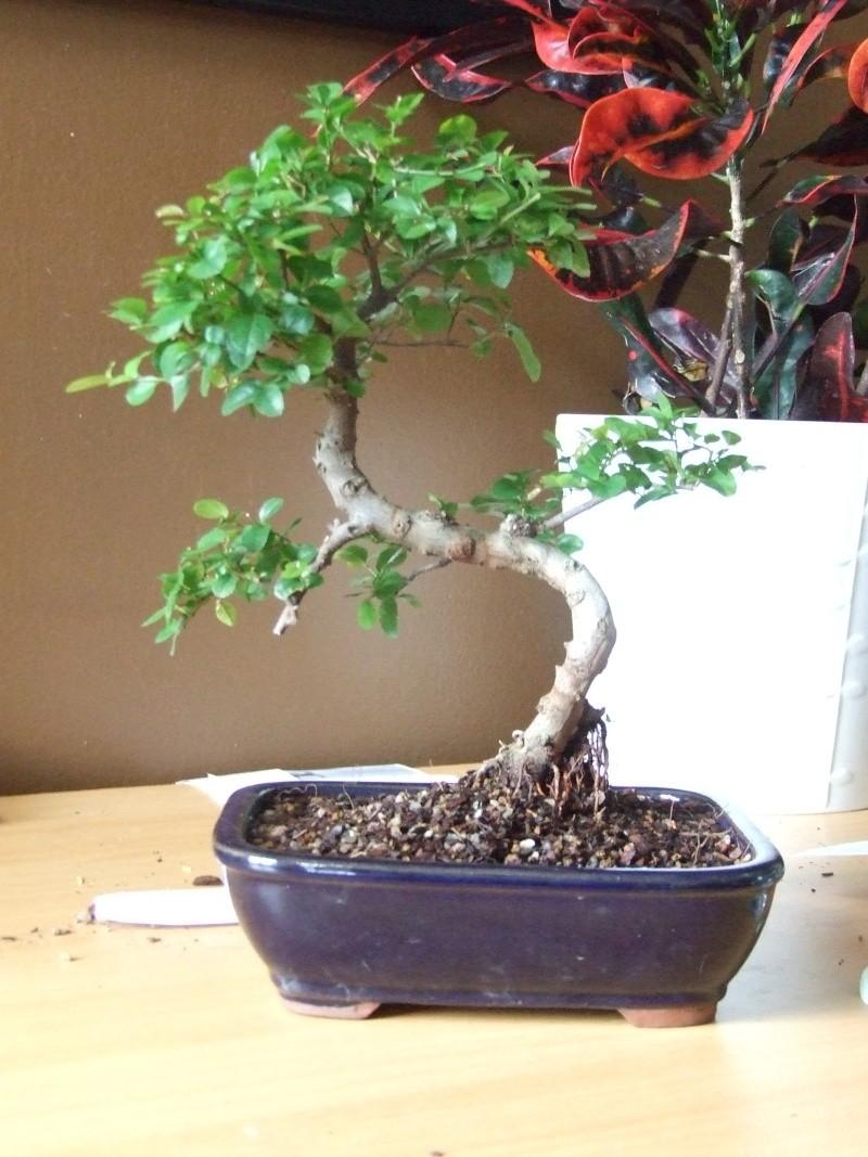 aide pour former un bonsai  Bonsai11