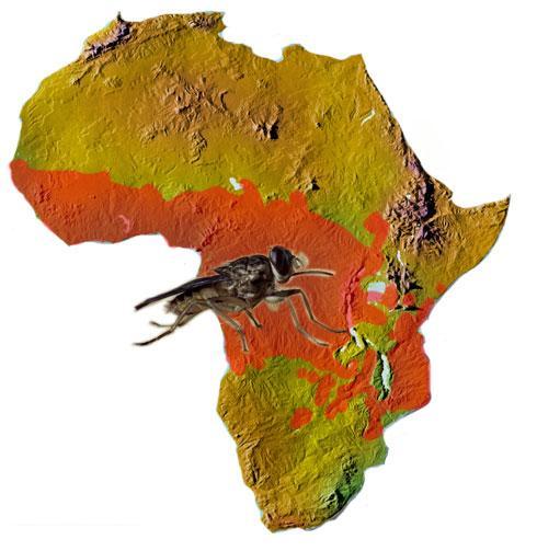 اخطر الحشرات في العالم ذبابة التسي تسي 210