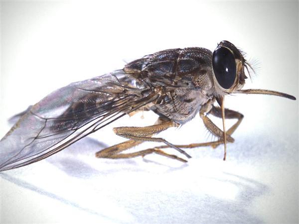 اخطر الحشرات في العالم ذبابة التسي تسي 310