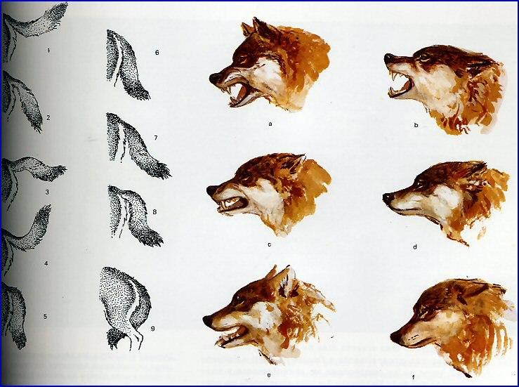 Expresiones corporales de los lobos 55124310