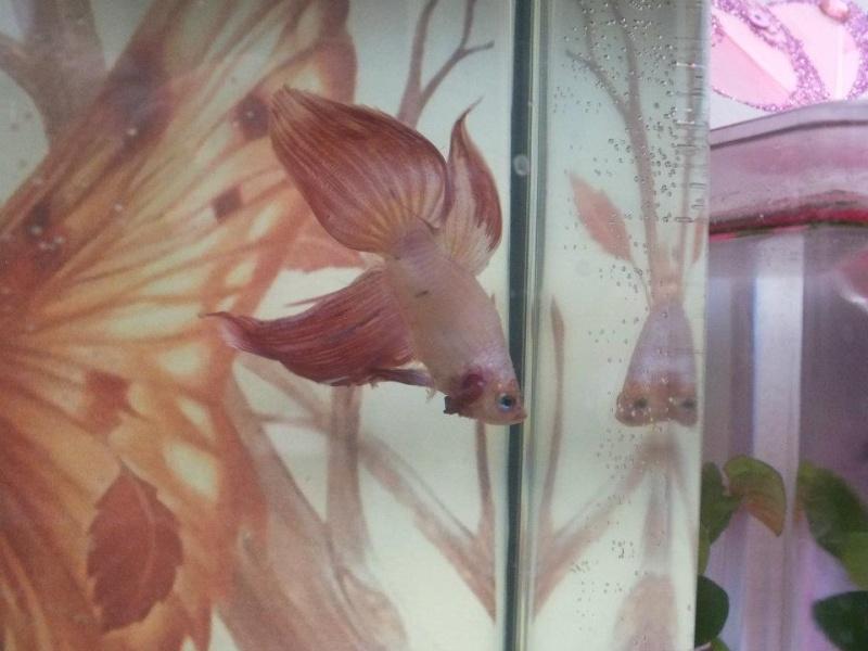 Une repro queue de voile x crowntail réussie :) 54461310