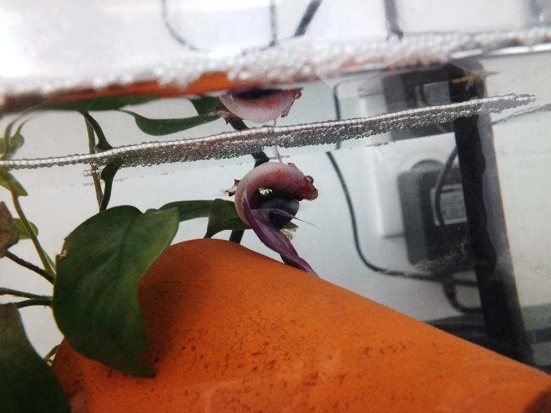 Une repro queue de voile x crowntail réussie :) Dscf4718