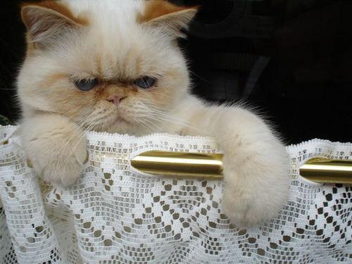 felix le chat Exotic11