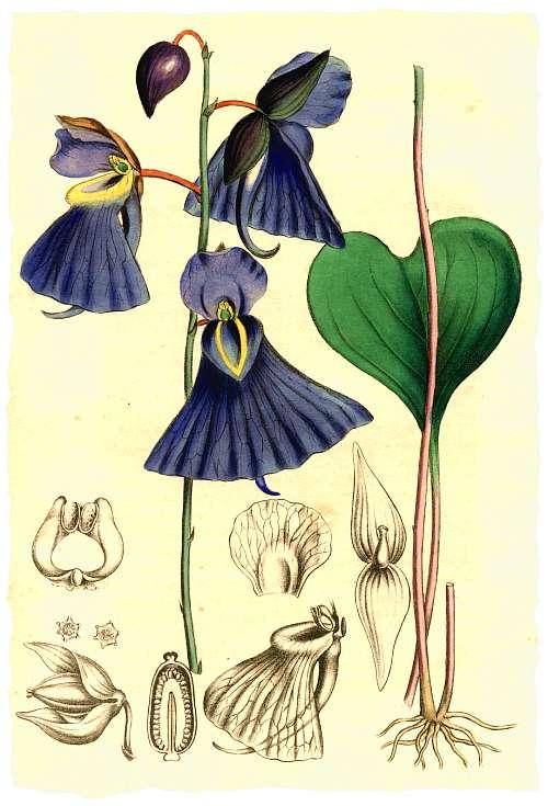 1841 - Utricularia Humboldtii 1841_u10