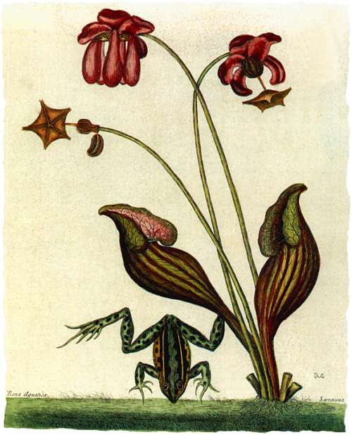 1875 - Sarracenia Purpurea 1875_s10