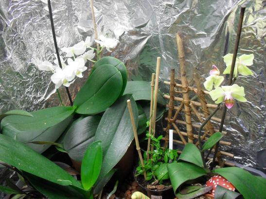 Armoire plantes épiphytes (Orchidées et Tillandsias) 30_08_11