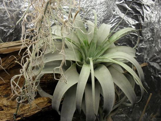 Armoire plantes épiphytes (Orchidées et Tillandsias) 30_08_13