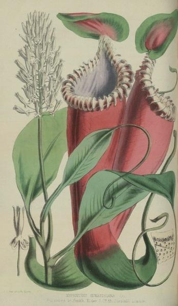 1863 - Népenthès Edwardsiana 348px-10