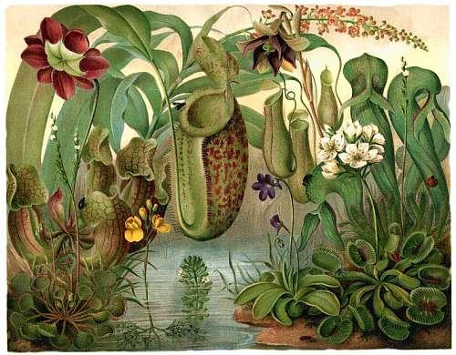1885 - Plantes Carnivores Carniv10