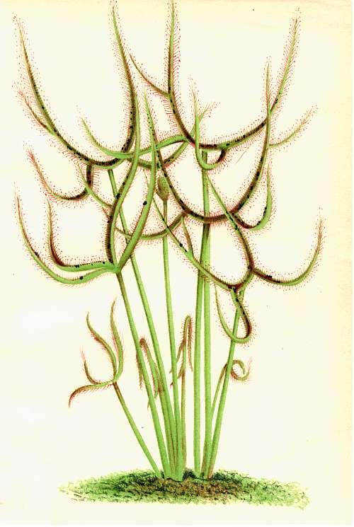 1879 - Drosera Binata (D. Binata var. Multifida) Droser10