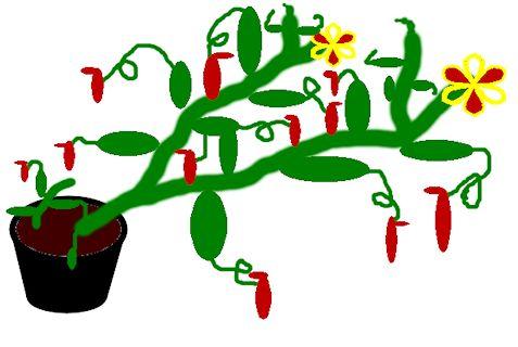 Nepenthès Miranda + évolution urnes + fleurs (c'est ta faute Telenos) Image111