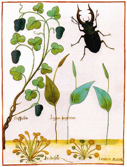 1480 - Herba Sole (D. Anglica) - Lunaria Major (D. Rotundifolia) Kloste10