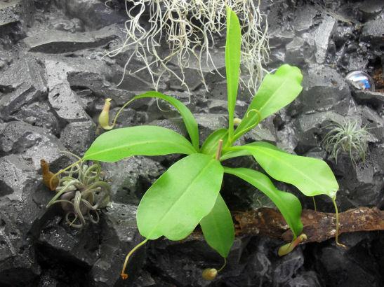 Terra-biotope /--> Projet Dendrobates/PCs - Page 2 Nep_ve10