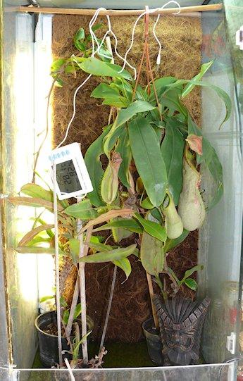 Ma Nepenthes Maxima / Déménagement terra-aqua P1140213