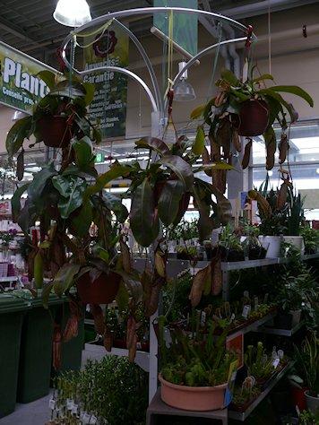 HORNBACH - Plantes carnivores - 5 au 29 septembre 2012 P1140316