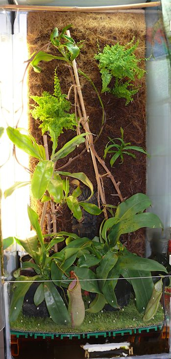 Ma Nepenthes Maxima / Déménagement terra-aqua P1140513