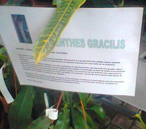 Nouvel hybride de nepenthes en jardinerie (N. Louisa) Photo010