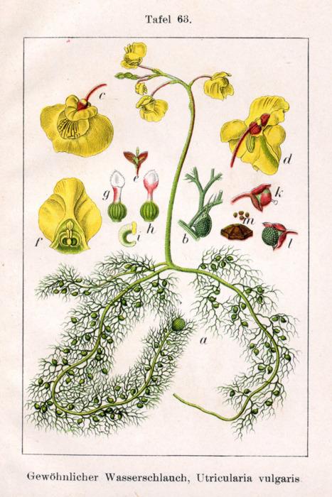 1796 - Utricularia Vulgaris Tumblr10