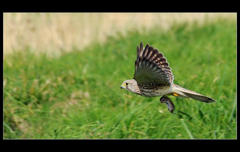 Oiseaux en vol - Page 2 Faucon10